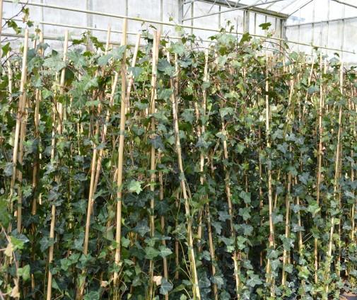 Klimplanten bast de plantgigant - Hoe om een e b e bpergola te bedekken ...