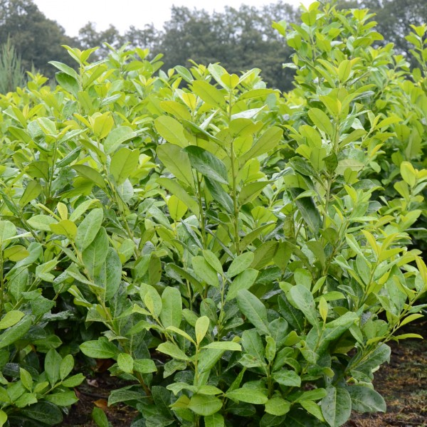 laurier prunus laurocerasus rotundifolia bast de plantgigant. Black Bedroom Furniture Sets. Home Design Ideas