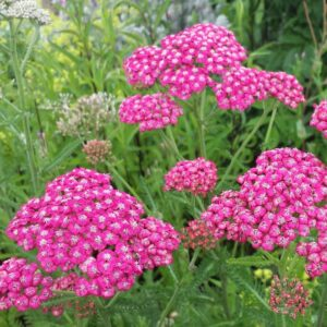 Achillea mill. 'Cerise Queen'