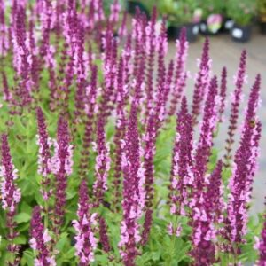 Salvia nemorosa 'Rose Queen'