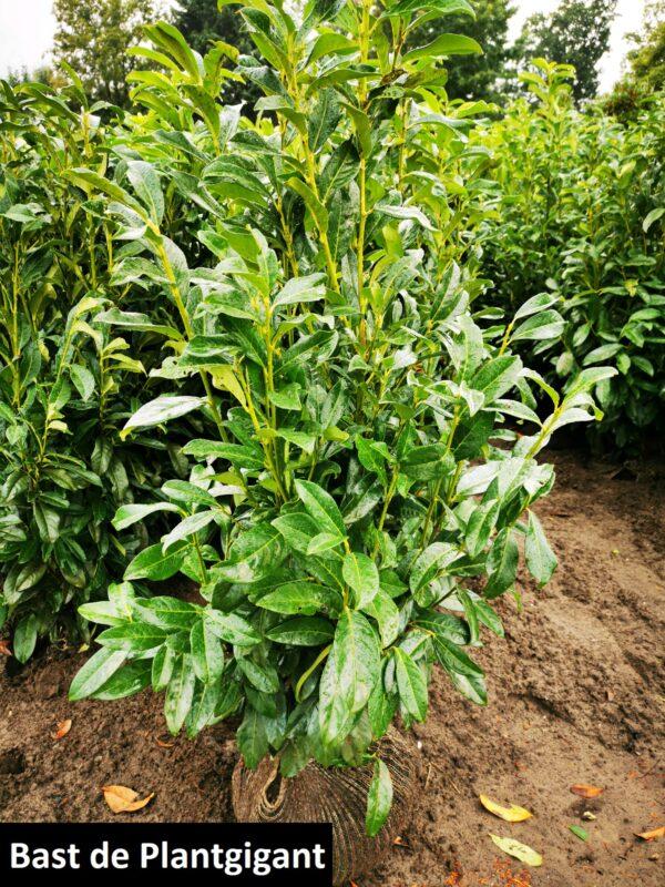 Prunus l. 'Genolia'
